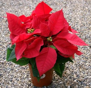 A lovely Poinsetta, a common Christmas flower. By KENPEI (KENPEI's photo) [GFDL (http://www.gnu.org/copyleft/fdl.html), CC-BY-SA-3.0 (http://creativecommons.org/licenses/by-sa/3.0/) or CC-BY-SA-2.1-jp (http://creativecommons.org/licenses/by-sa/2.1/jp/deed.en)], via Wikimedia Commons